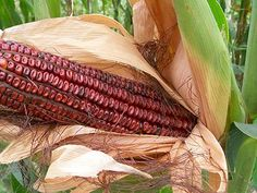 Bloody Butcher Dent Corn stalks grow 10 to 12 foot tall, producing two ears per stalk. Kernels are blood-red with darker red stripes Autumn Garden, Easy Garden, Spring Garden, Lawn And Garden, Corn Tortilla Recipes, Popcorn Seeds, Green Grapes Nutrition, Corn Stalks, Gardening