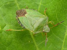 Image result for photos of shield bugs