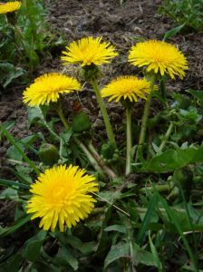 Ah Sweet...Dandelions? | Proverbs 31 Woman