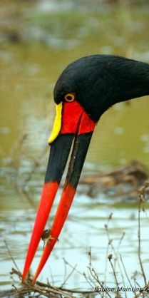 Saddle-billed Stork (Ephippiorhynchus senegalensis) with crab lunch ... permanent chopsticks