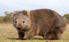 "Wombat Vombatus ursinus ""Nothing stops it."""