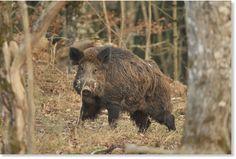 Wild boar attacks 3 farmers in India