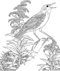Meadowlark And Goldenrod Nebraska State Bird Flower Coloring Page From Category Select 20946 Printable Crafts Of Cartoons Nature