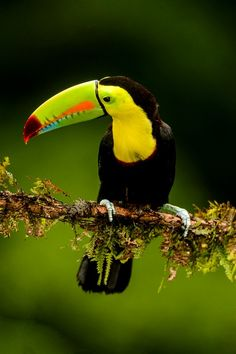 1000+ images about Toucans on Pinterest | Toco Toucan ...