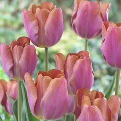 Tulip Malaika - Parkers Wholesale