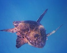 Hawaiian Green Sea Turtle diving.  #photography #photo #scenic #nature #hawaii #travel #snorkel #snorkeling #swimming #seaturtle #ocean #oahu #turtle #turtlecanyon