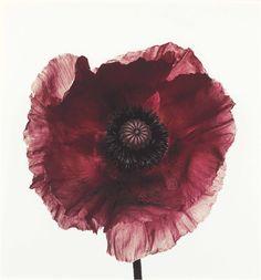 IRVING PENN, Poppy: Burgundy, New York, 1968. Pigment print, flush-mounted on board.