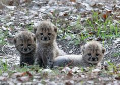 These 5-week-old Cheetah cubs are part of White Oak's successful breeding program, today on Zooborns.com