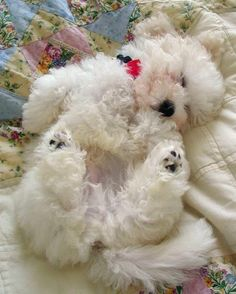 Waiskai the Bichon Frise, Sweet dreams my lovely prince! I want to make you feel like a KING! I want to take care of you! And cuddle you at night! Like this!