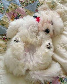 Waiskai the Bichon Frise, Sweet dreams my lovely prince! I want to make you feel…