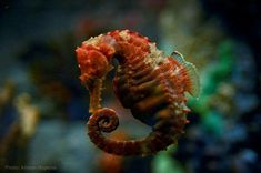 Seahorse Seahorses, Octopus, Animals, Animaux, Animales, Octopuses, Animal, Diving Regulator, Dieren