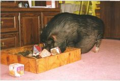 Rooting Box for pet piggy
