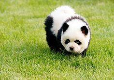 Panda bear puppy