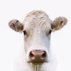 Charolais White Cow – Devon, England – Jojo Filer Cooper