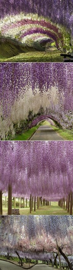 Wisteria; doesn't get much better than this!!