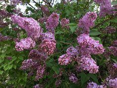 Lilas en flor en Masia La Mota, Alcoy