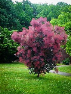 Cotinus coggygria 'Royal Purple' - Royal Purple Smoke Tree Zone: 4 to 8 Height: 10 to 15 feet Spread: 15 to 20 feet Trees And Shrubs, Flowering Trees, Trees To Plant, Garden Shrubs, Garden Plants, Tree Garden, Fruit Garden, Purple Smoke Bush, Purple Shrubs