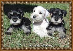 Snowflake Schnauzers Miniature Schnauzer Puppies - Miniature Schnauzer Puppies- Home Page