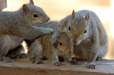 Picture Used on NSVH.  October is Squirrel Awareness Month Album.  squirrels