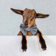baby pygmy goat wearing a bowtie!