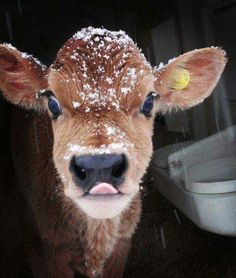 What& cuter than cute animals? Why cute animals covered in snow of course! Start your day with a smile with these adorable pictures. Cute Baby Cow, Baby Cows, Cute Cows, Cute Baby Animals, Farm Animals, Animals And Pets, Baby Elephants, Wild Animals, Animals In Snow