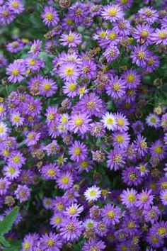 Aster ageratoides 'Ezo Murasaki', from Avant Gardens, spring 2011. Heard it spreads like crazy, which is OK with me.