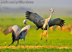 Dancing Blue Cranes are rare birds endemic to Southern Africa. These pictures were sent to us by Ricardo Chitagu from Zimbabwe.  You can always send us your media via the following platforms. They are most welcomed.  Facebook: www.facebook.com/IFILM/ Viber: +989023011623 WhatsApp: +989023011623 Telegram: telegram.me/ifilmenglish Voice mail: +982123011622 www.ifilmtv.com/English