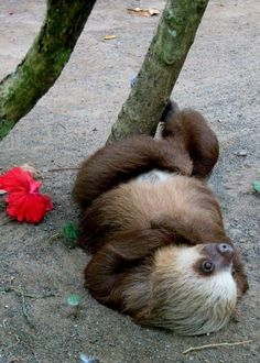 Just 15 Funny Photos Of Sloths Doing Absolutely Nothing - I Can Has Cheezburger? Cute Baby Sloths, Cute Sloth, Cute Baby Animals, Animals And Pets, Funny Animals, Baby Otters, Funny Animal Quotes, Cute Animal Pictures, Funny Photos