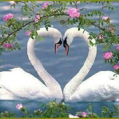 Swan heart so sweet. These beautiful birds have one love forever. I have read that if one dies the other one can actually die of a broken heart. These birds apparently not from Newport Beach lol ! Beautiful Swan, Beautiful Birds, Animals Beautiful, Beautiful Hearts, Pretty Birds, Love Birds, Three Birds, Birds 2, Animals And Pets