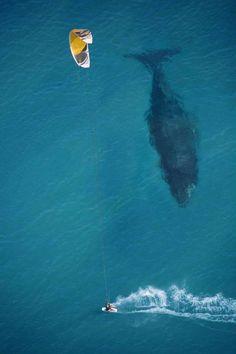 Birds-eye view of humpback whale      via