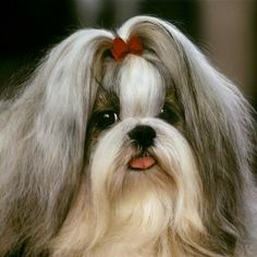 Adorable-Shih-Tzu Our site is base on latest Dogs Funny Picture we also provide you high quality wallpapers, pictures, latest images, photos. We have a huge data base of HD and HQ wallpapers. You can also find latest trends of Dogs Funny Pictures. Take a look and enjoy.  http://whatstrendingonline.com/shih-tzu/