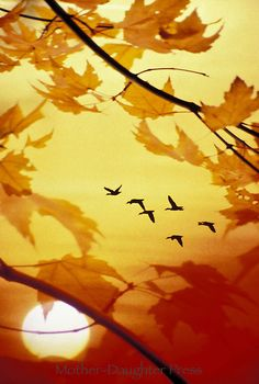 Geese migrating in autumn framed by fall leaves in sunset ~ From Mother-Daughter Press & Gay Bumgarner Images