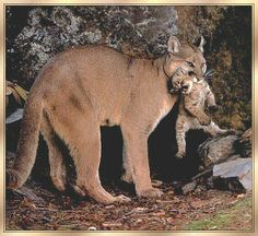 animal moms and babies | animals - puma cougar