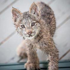 Mama lynx with 7 kittens visit Alaska photographer's porch