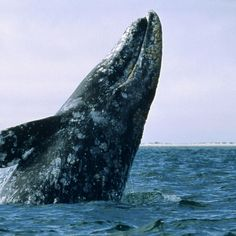 A grey whale, breaching in the mouth of the River Vene, whales are spotted often off the coast of Red Water and having one swim under you vessel is said to be good luck. List Of Animals, Live Animals, Baleen Whales, Whale Tattoos, Shark Art, Gray Whale, Wale, African Cichlids, Sport Fishing
