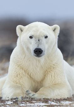 Polar bear looking directly at camera at ground level.