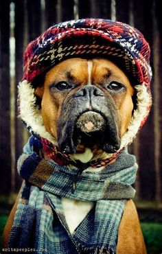 Cute Solemn Boxer ready for Fall | Cute puppy and dog