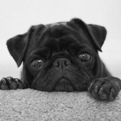 Nothing cuter than a black pug!