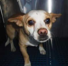 12/25/16 last day of today. Animal ID\t34103237 \r\nSpecies\tDog \r\nBreed\tChihuahua, Short Coat\/Mix \r\nAge\t1 day \r\nGender\tMale \r\nSize\tSmall \r\nColor\tBrown\/White \r\nSite\tCity of El Paso Animal Services \r\nLocation\tSally Port \r\nIntake Date\t11\/30\/2016 \r\n