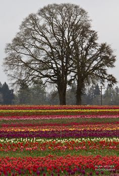 The Wooden Shoe Tulip Farm in Woodburn, Oregon is one of my favorite places this time of year.
