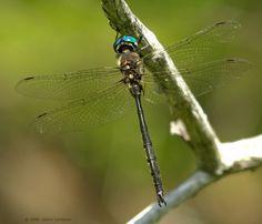 Somatochlora forcipata (Forcipate  Emerald), male, dorsal view