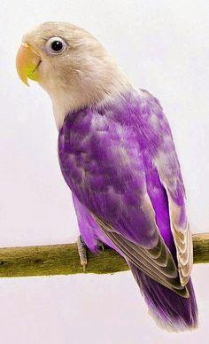 Nice bird Jenday Conure Violet Fischer's Lovebird