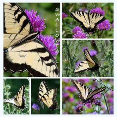 Yellow Swallowtail butterfly seen in the Prairie area at Cantigny Gardens, Wheaton, IL. Rosanne Jordan Photography Art