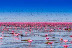 Pink Lotus Lake by Siripong Kaewla-iad on 500px