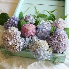 hydrangeas. love the idea of colors other than white/cream. these soft purples are gorgeous.