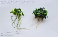 """Anubias """"Chilli"""" and """"Pangolino"""" - root system"""