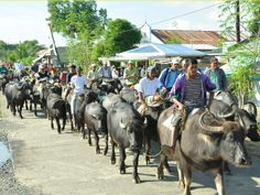 """Carabao """"parade"""" at San Agustin, Isabela. (Photo from Dept. Of Agriculture's Philippine Carabao Center website)"""