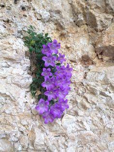 Unusual Flowers, Small Flowers, Amazing Flowers, Beautiful Flowers, Rock Flowers, Flowers Nature, Wild Flowers, Plantes Alpines, Rock Plants