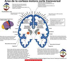 Corteza Cerebral Motora Ectodermo Nueva Medicina Germanica Hamer NMG Leyes Biologicas 5LB