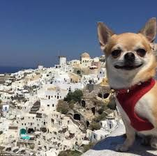 Image result for chihuahua instagram